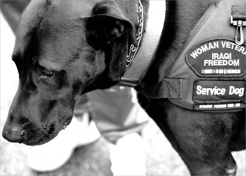 "Service dog Sherman wears his vest that displays the patch: ""Woman Veteran Iraqi Freedom."" He is the service dog of US Army Veteran Alex Gries who served in combat during Operation Iraqi Freedom."